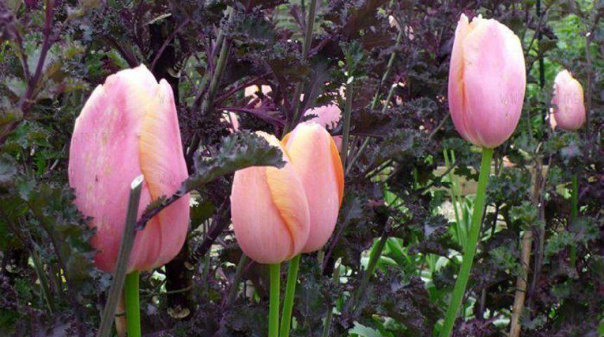 Тюльпан и кудрявая капуста