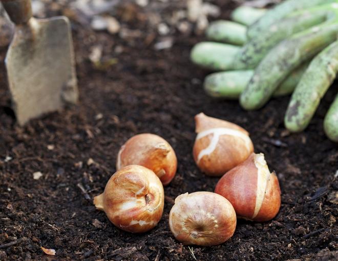 Высаживая тюльпаны, важно правильно подгадать время