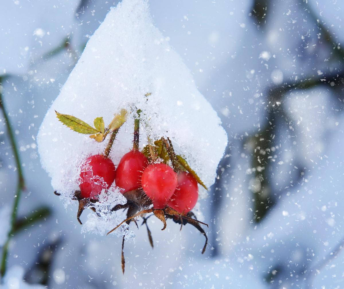 Шиповник под снегом