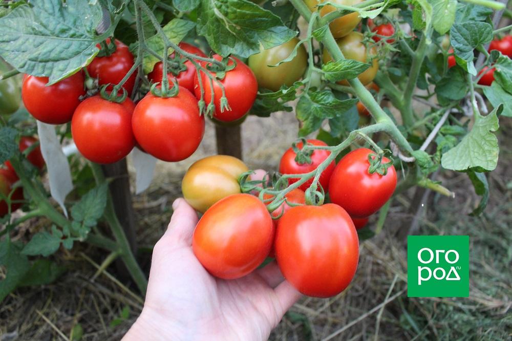 томаты зомок